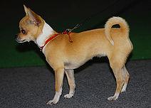 Lyhytkarvainen Chihuahua